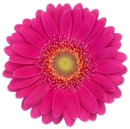 20 Germinis plusieurs couleurs rose