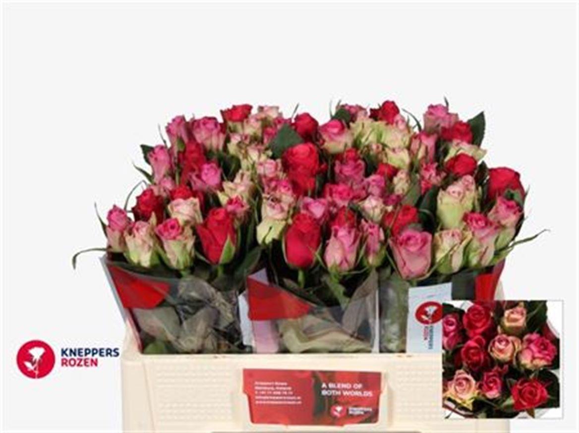 20 intermediate headed Roses mixed colors 40 cm