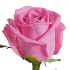 20 Roses à moyen gros boutons courtes