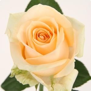 20 Intermediate Roses