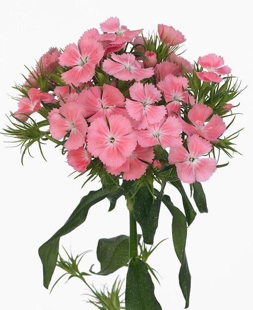 25 Dianthus Barbatus