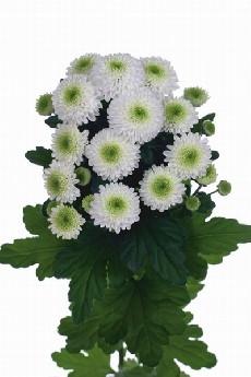 25 Santini Chrysanthemums