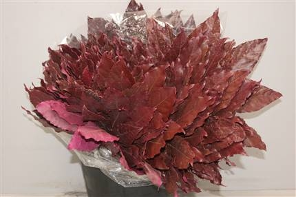 5 Aralia blad (Fatsia Japonica)