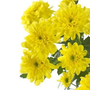 5 Chrysanthemums decorative