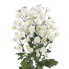 5 Chrysanthèmes à petit fleurs