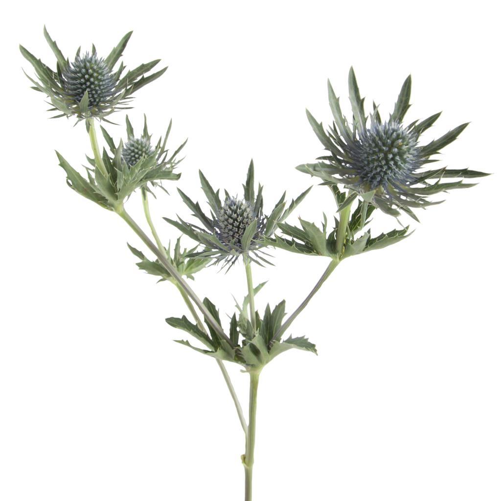 5 Eryngium bleu de longueur moyenne