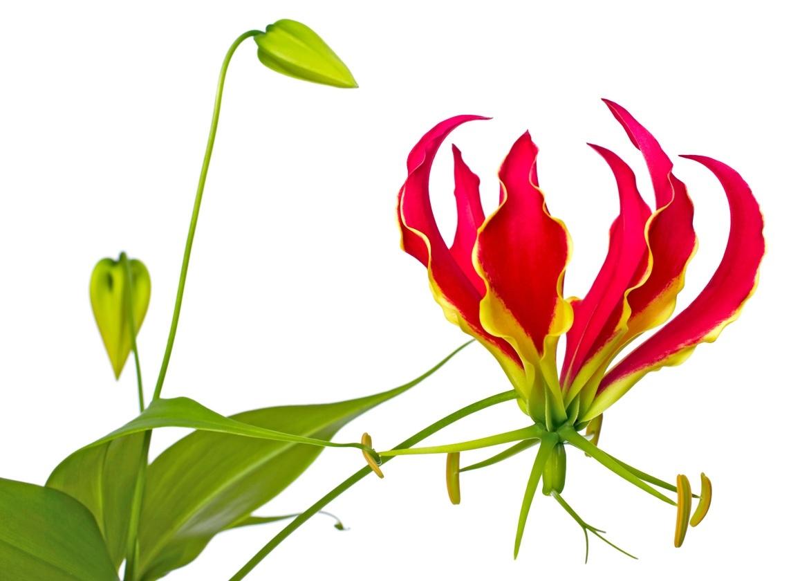 5 Gloriosa rouge
