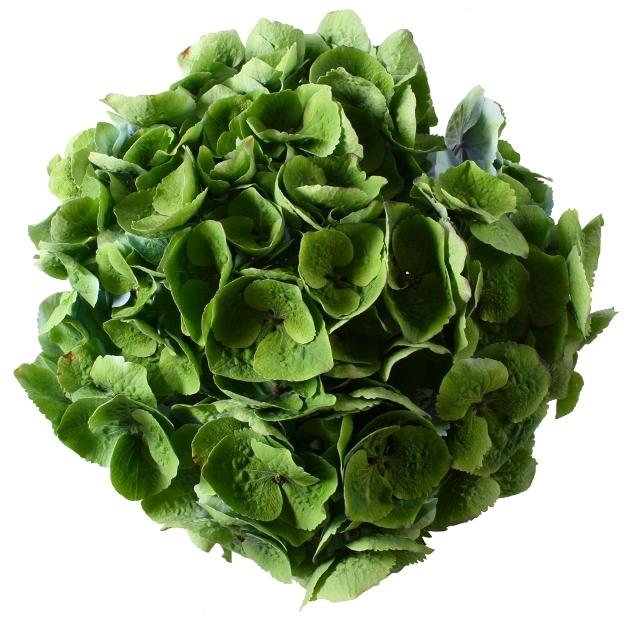 5 Hortensia bloemen kort