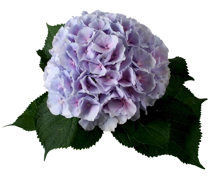 5 Hydrangea