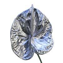 5 Anthurium argenté