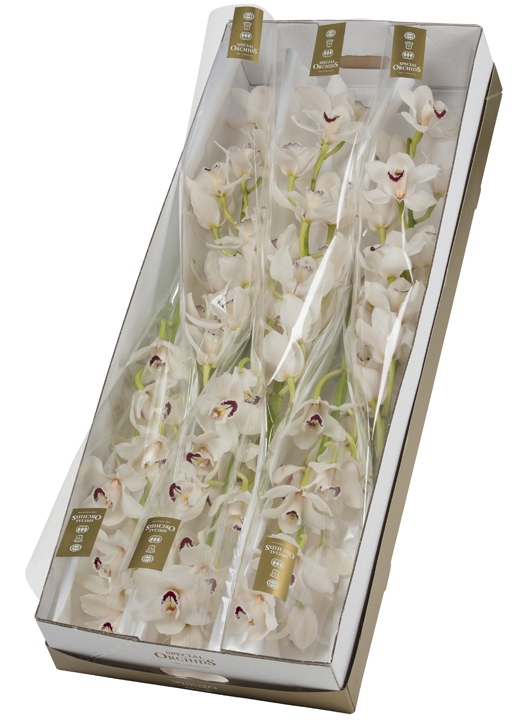 Cymbidium big flowers per stem with 9-10 flowers