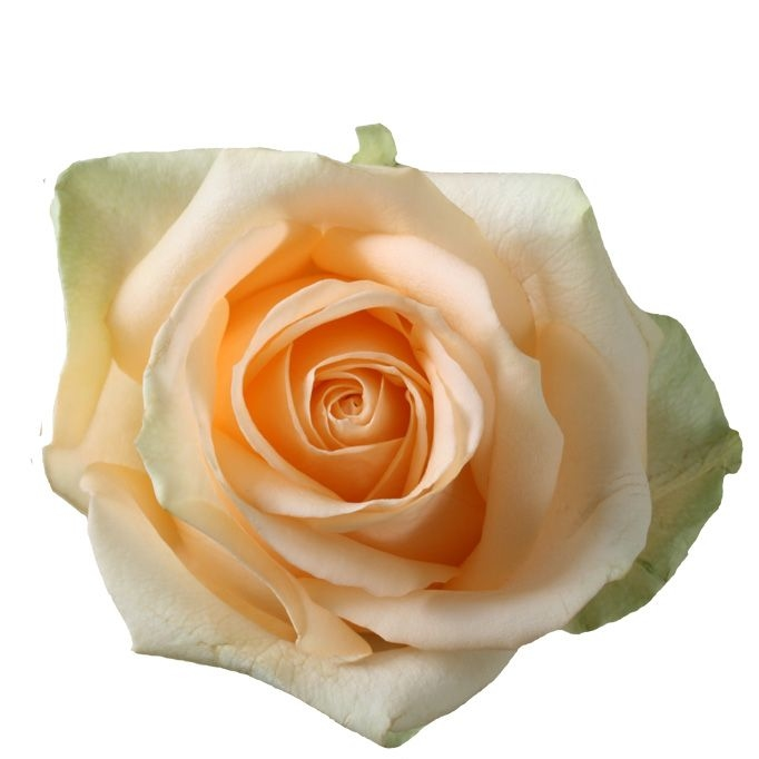 Roses à gros boutons Avalanche peach de longueur moyenne