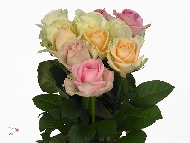 Bouquet Avalanche Roses in pastel shades big heads