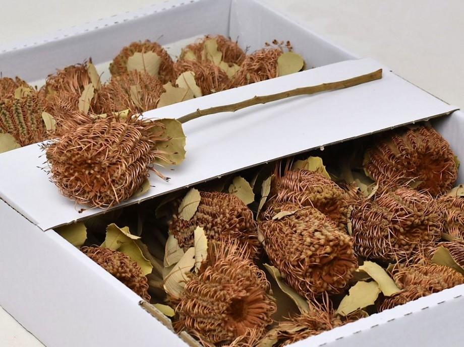 Banksia Coccinea gedroogd