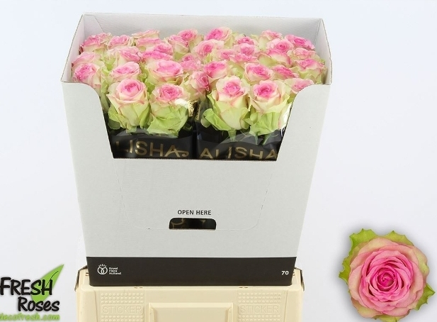 Bouquet bicolor white pink Roses big heads