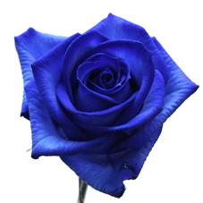 bouquet de 10 Roses bleues avec 1 Rose blanche