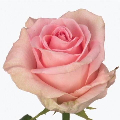 Bouquet des Roses rose clair avec des Roses blanc