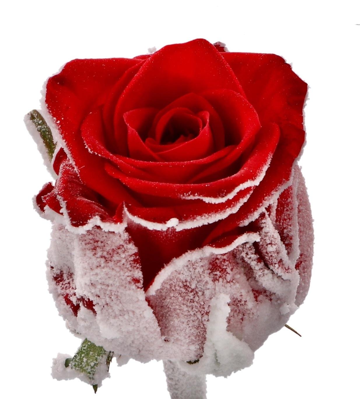Roses longues tiges à gros boutons rouge avec de la neige