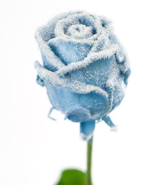 Roses à longue tiges à gros boutons ciré bleu clair neigeux