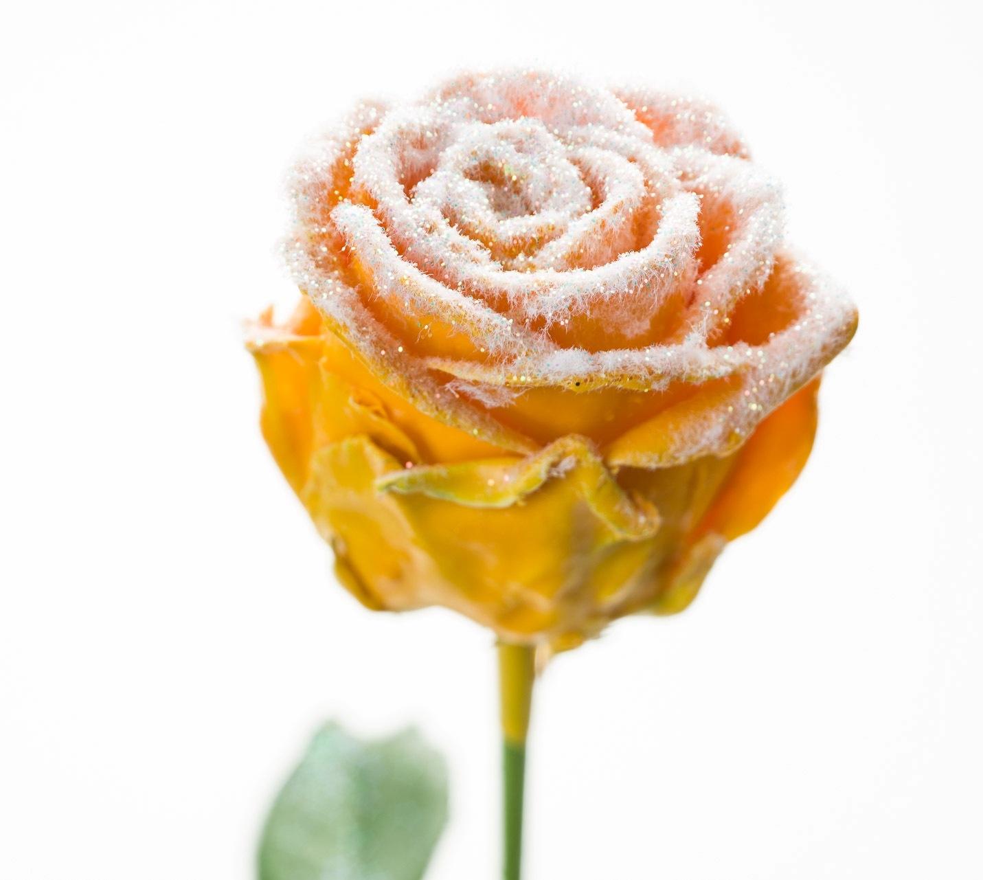 Roses à longue tiges à gros boutons ciré jaune ocre neigeux