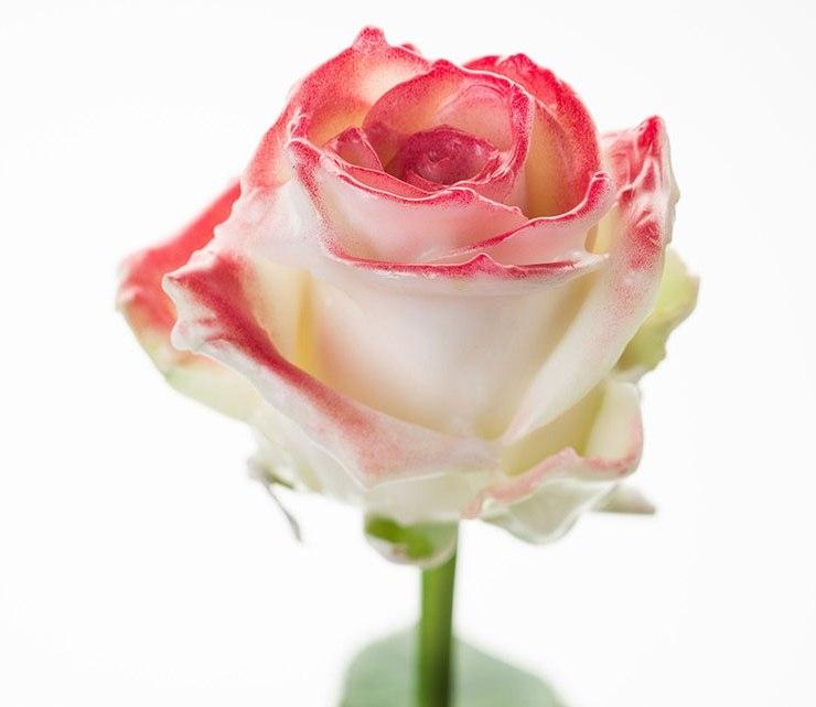 Boeket van grootbloemige wax Rozen wit met blos rood