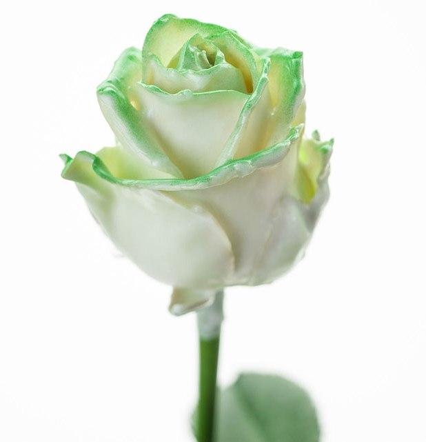 Roses à longue tiges à gros boutons ciré blanc et teint vert