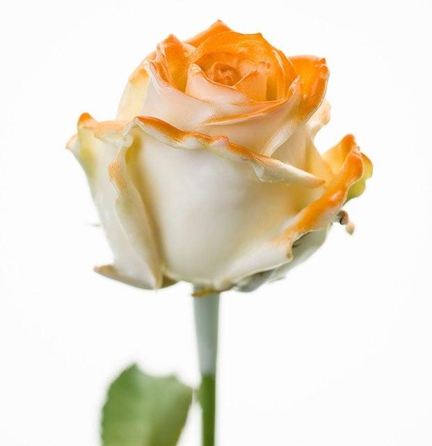 Bouquet of long white waxed Roses big flowers blush orange