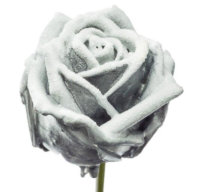 Roses à longue tiges à gros boutons ciré argenté neigeux