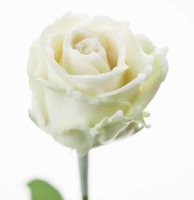 Roses à longue tiges à gros boutons ciré blanc