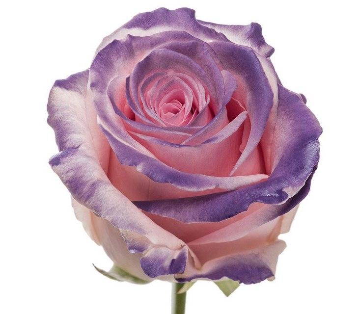 Boeket van roze grootbloemige Rozen met paarse blos
