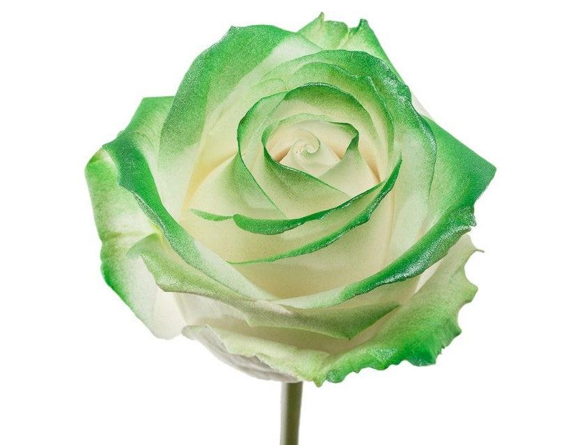 Boeket van witte grootbloemige Rozen met groene blos