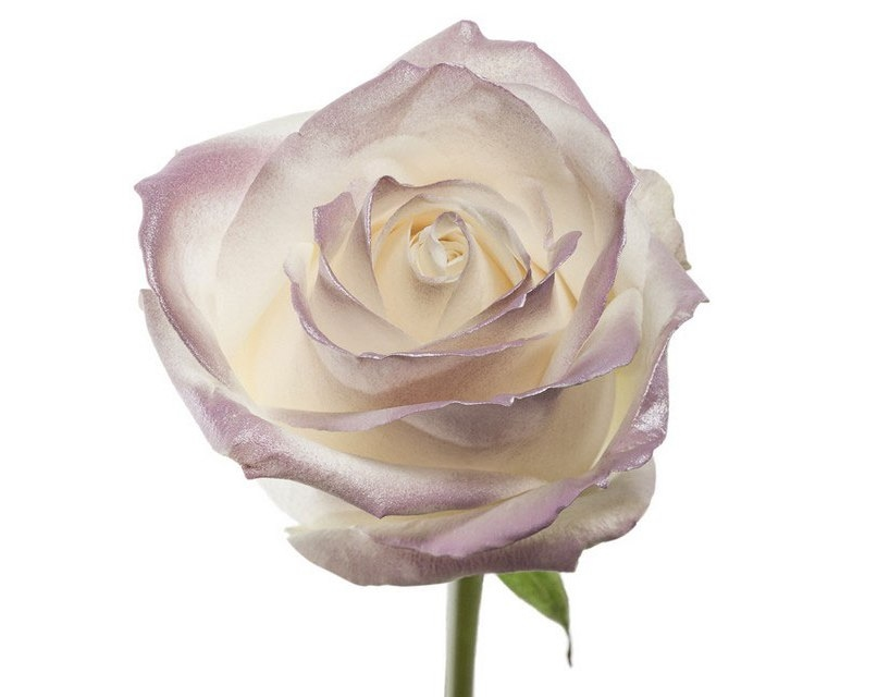 Roses à longue tiges à gros boutons et teint lilas