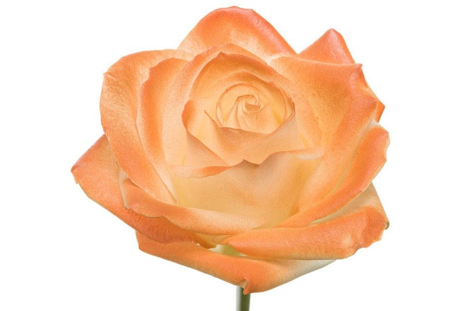 Boeket van witte grootbloemige Rozen met oranje blos