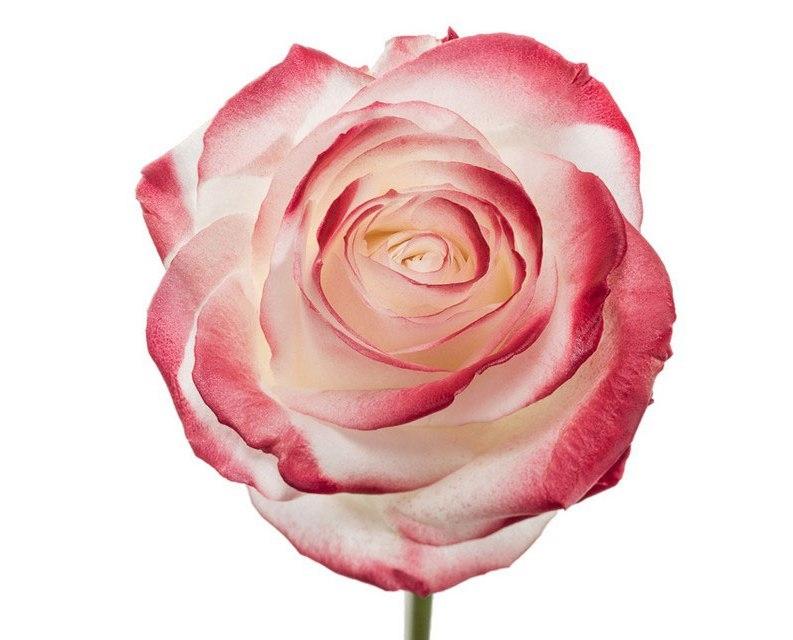 Roses à longue tiges à gros boutons blanc et teint rouge