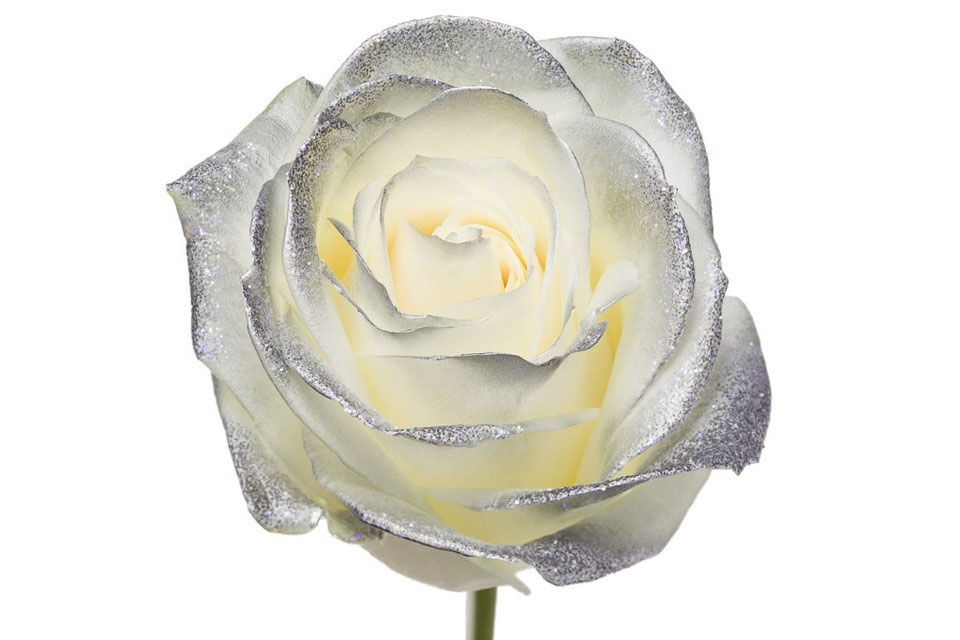 Bouquet of long white Roses big flowers with a silver blush