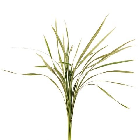 Botte Lily grass