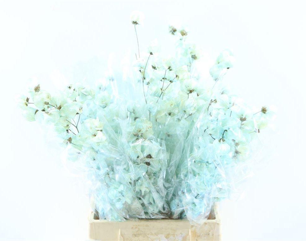 Bougainvillea blanchi séché bleu clair