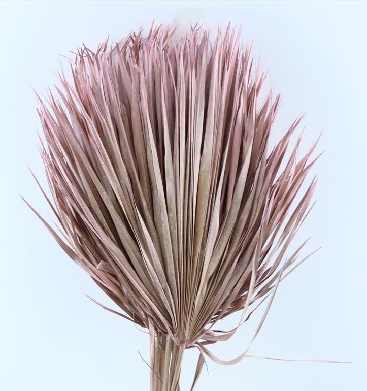 Chamaerops leaves large light pink dried