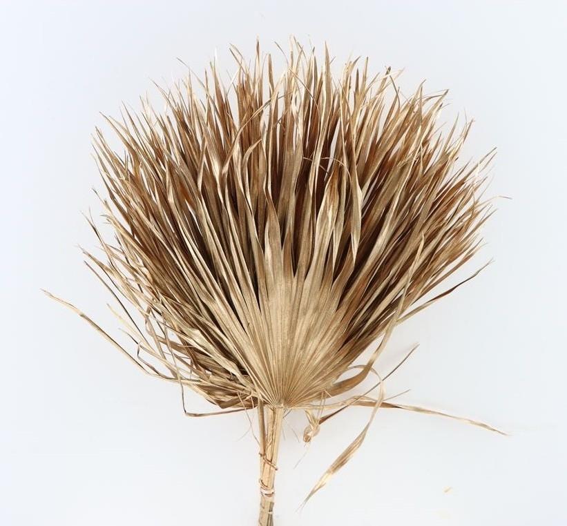 Chamaerops bladeren large oud goud gedroogd