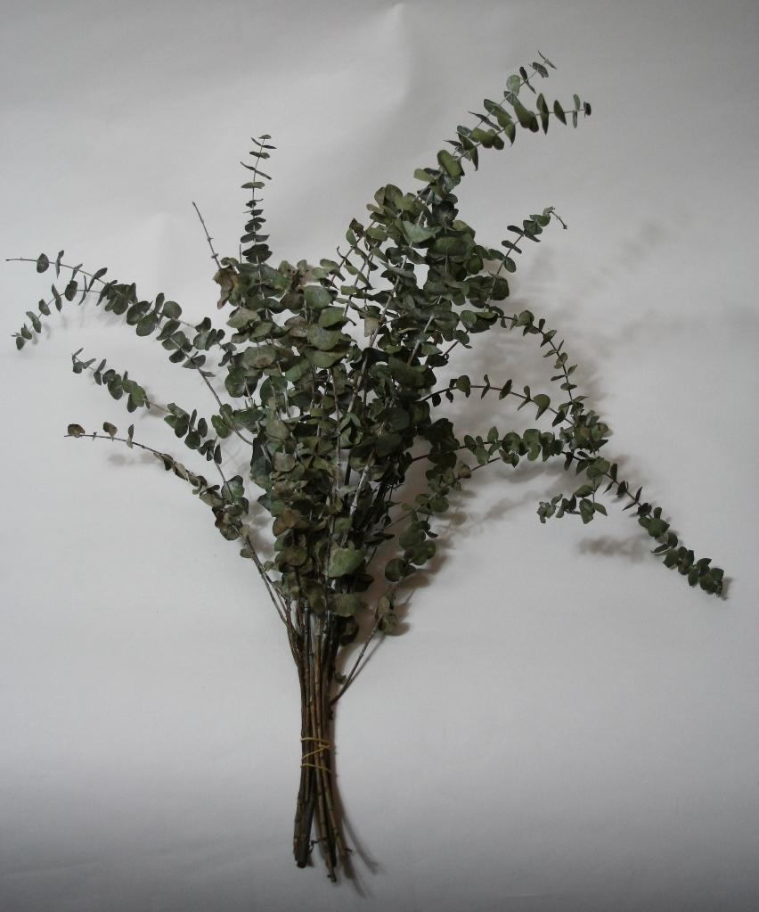 Eucalyptus Baby Blue dried