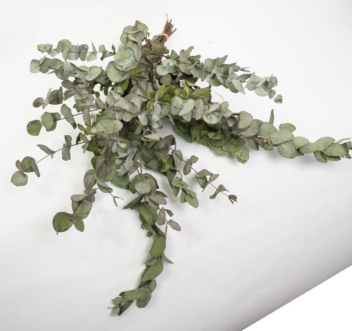Eucalyptus Cinerea gedroogd